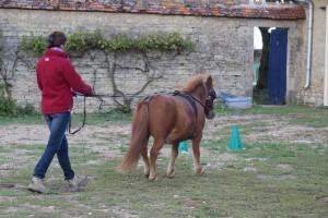 Travail d'un poney aux longues guides