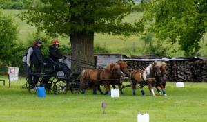 Team de 4 poneys à l'entraînement.