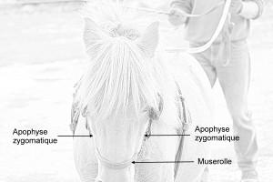 Réglage de la hauteur de la muserolle par rapport à la morphologie de l'animal