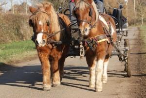 Chainettes en cuir, sur un attelage de deux poneys
