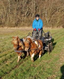 paire de poneys attelés en extérieur