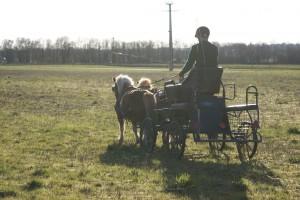 paire de poney attelé à contre jour