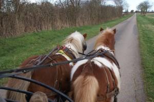 poneys attelés en promenade