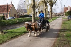 attelage de deux poneys traversant le village
