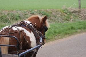 poney attelé à une voiture 2 roues