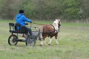 poney attelé incurvé à gauche sur un cercle, en dressage