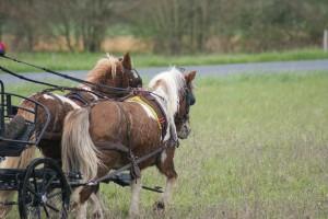 poneys attelés