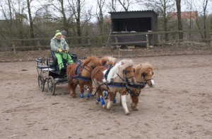 attelage à 4 poneys