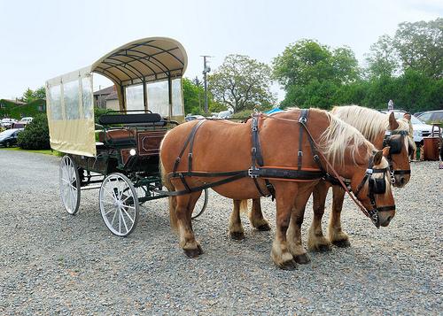deux chevaux attelés à une calèche attendent les promeneurs