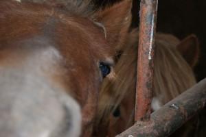 poneys derrière les barreaux