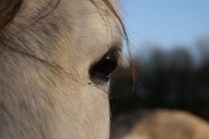 oeil de poney en gros plan