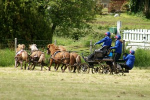4 poneys attelés lors d'une épreuve de parcours en terrain varié sur un TREC
