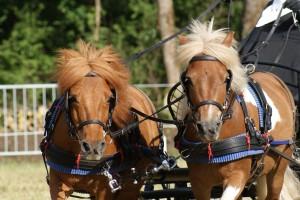 on aperçoit les croisières qui se croisent entre ces deux poneys attelés en paire