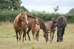 Différents chevaux, avec différentes marques. Un seul des 5 est zain : celui de droite !