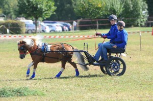 Poney attelé, au galop