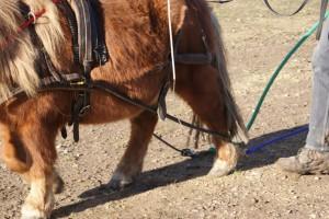 Les cordes sont au sol, et les traits en contact avec les membres. Cela ne doit provoquer aucune réaction de la part du poney