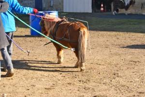 L'aide place les traits en tension et au contact de l'arrière main de l'animal pour tester son comportement.