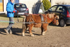 Poney en traction sur sa bricole.