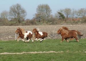 poneys au galop dans un pré