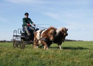 deux poneys attelés dans l'herbe
