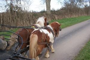 paire de poneys attelé sur la route