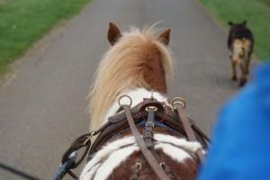 poney attelé vue de dessus et derrière