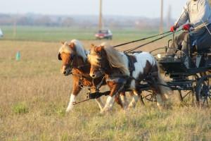 deux poneys attelés en paire, trottant ensemble