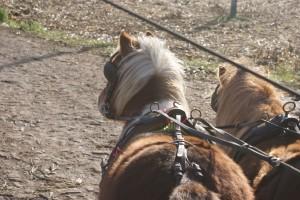 paire de poneys shetland attelés ensemble