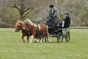 reprise de dressage avec une paire de poneys shetlands