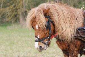 tête de poney ayant transpiré avec son poil d'hiver