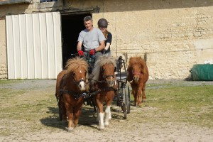 poneys attelés et poney qui suit