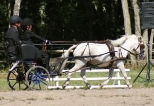 poney d'attelage sans fer