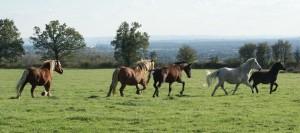 troupeau de chevaux en mouvement
