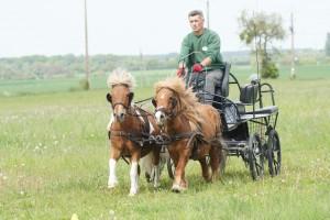 poneys attelés au galop
