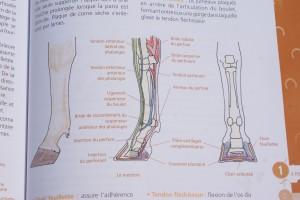 L'un des nombreux croquis explicatifs sur l'anatomie du cheval